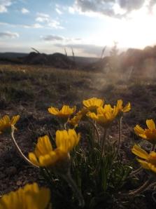 sun-set flowers